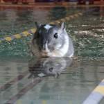 Swimming gerbil